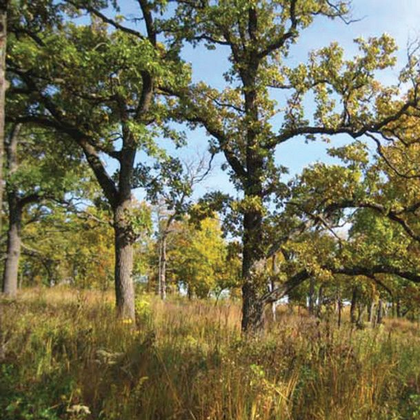 black oak savanna